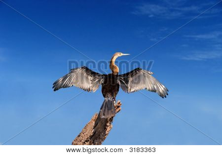 African Darter On Blue Background With Layers