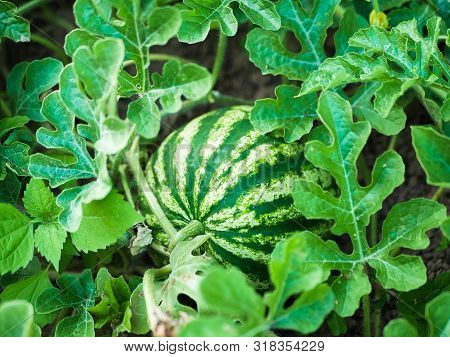 Growing Watermelons. Agriculture. Natural Watermelon Grows In The Field. Diy Homemade Watermelon