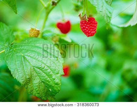Raspberries Ripen On The Bush. Home Without Chemicals And Additives. Eco Raspberries. Red Raspberry