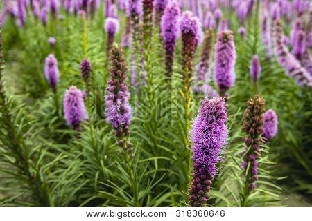 Colorful Image With A Closeup Of Rows Of Purple Flowering Dense Blazing Star Or Liatris Spicata Plan
