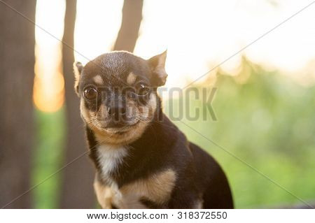 Chihuahua Is Sitting On The Bench. Pretty Brown Chihuahua Dog Standing And Facing The Camera. Chihua