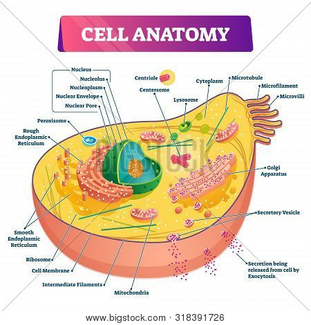 Cell Anatomy Vector Illustration. Labeled Educational Structure Diagram. Isolated Microscopic Biolog