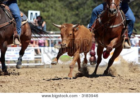 Rodeo Steer Running