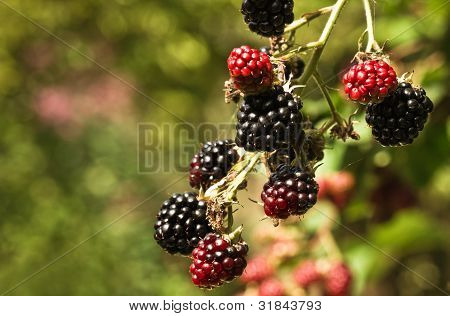 Riping Brambleberries In Summersun