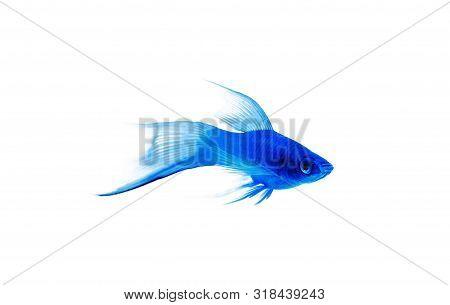 Little Blue Fish On White Background. Bluefish Isolated On White Background