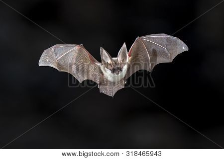 Flying Bat On Dark Background. The Grey Long-eared Bat (plecotus Austriacus) Is A Fairly Large Europ