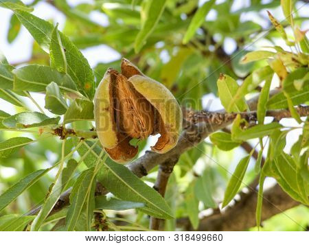 Low Angle Shot Of A Fresh Almond Fruit On Tree