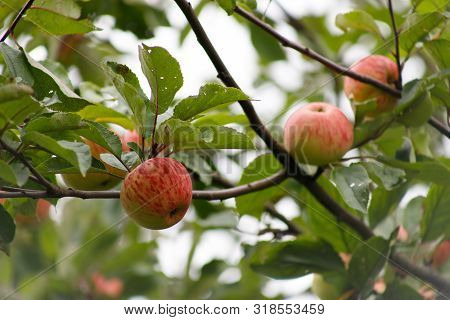 Organic Apples Hanging From A Tree Branch, Apple Fruit Close Up, Large Ripe Apples Clusters Hanging