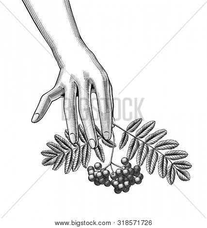 Female hand with a rowan branch with berries and leaves on the palms. Vintage engraving black and white stylized drawing