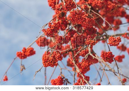 Bright Rowan Berries On A Branch. Selective Focus, Blue Background.