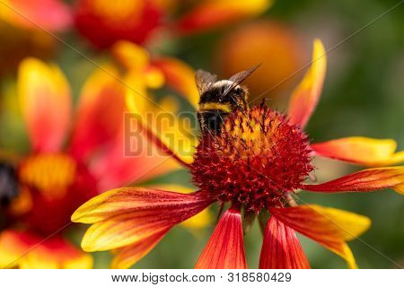 View Of Bumble Bee On The  Blanket Gaillardia Flower In The Summer Garden. Photography Of Nature And