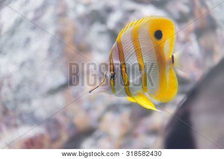 Fish : Copper-banded Butterflyfish (chelmon Rostratus) In Ocean.nature Life.