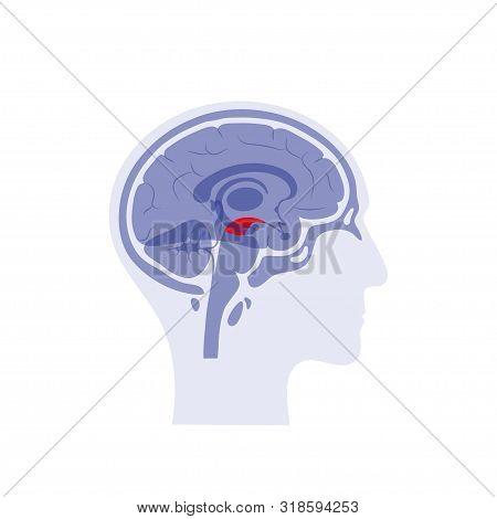 Vector Isolated Illustration Of Midbrain In Man Head. Human Brain Components Detailed Anatomy. Medic