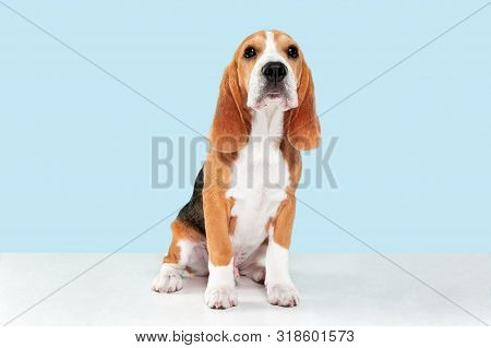 Beagle tricolor puppy is posing. Cute white-braun-black doggy or pet is sitting on blue background. Looks attented and sad. Studio photoshot. Concept of motion, movement, action. Negative space. poster
