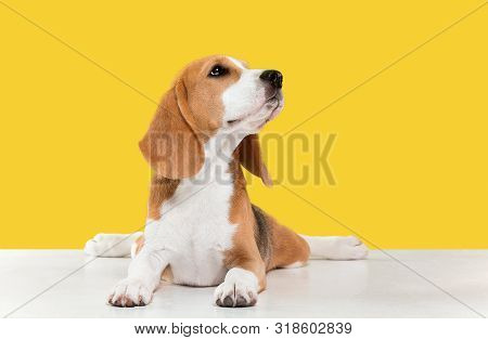 Beagle tricolor puppy is posing. Cute white-braun-black doggy or pet is playing on yellow background. Looks calm and confident. Studio photoshot. Concept of motion, movement, action. Negative space. poster