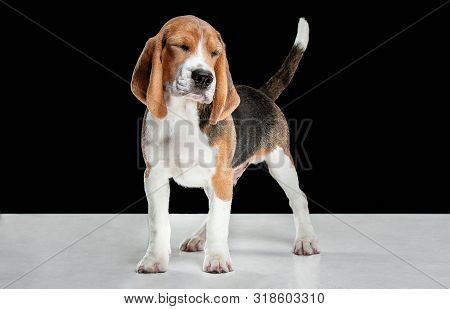 Beagle tricolor puppy is posing. Cute white-braun-black doggy or pet is playing on black background. Looks attented, interested. Studio photoshot. Concept of motion, movement, action. Negative space. poster