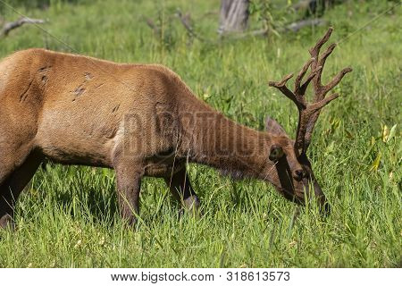 Young Elk With Velvet  On Meadow.the  Wapiti (cervus Canadensis) Is One Of The Largest Species  With