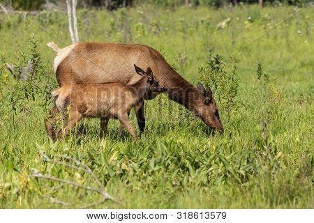The Elks On Meadow.the Wapiti Doe With Fawn On Pasture.