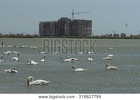 White Swans On The Water Surface Of Lake Sasyk-sivash In Yevpatoria. Attraction And Beauty Of Nature