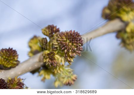 Flowering Branch Of Ash-tree (fraxinus Americana) Close-up On A Background Of Blue Sky