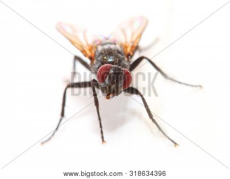 The House Fly - Musca domestica is dangerous carrier of pathogens. Insect isolated on white background.