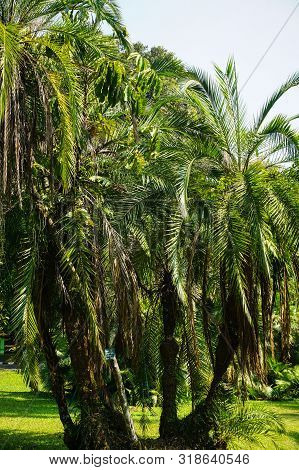 Small Palm Trees With Green Grass And Tropical Forest Country In Indonesia - Photo