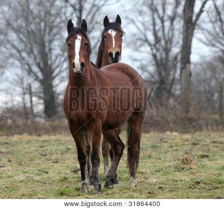2 Breton Horses