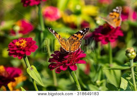 View Of Painted Lady Butterfly On The Red Flower In The Summer Garden. Photography Of Nature And Wil