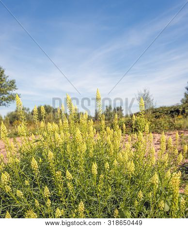 Closeup Of Yellow Flowering Wild Mignonette Plants In A Dutch Nature Reserve. The Photo Was Taken On