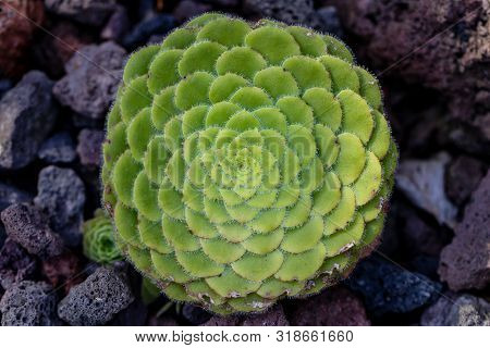 Close-up Of Succulent  Green Plant In The Stone Garden. Macro Photography Of Lively Nature.