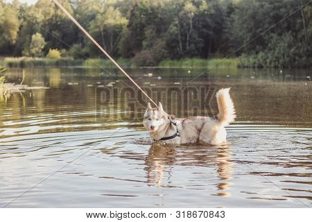 poster of Husky portrait. Young husky dog on a walk in the water. Husky breed. Light fluffy dog. Walk with the dog. Dog on a leash. Pretty dog. A pet