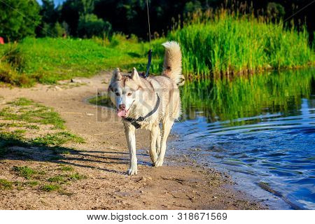 Husky Portrait. Young Husky Dog On A Walk In The Water. Husky Breed. Light Fluffy Dog. Walk With The