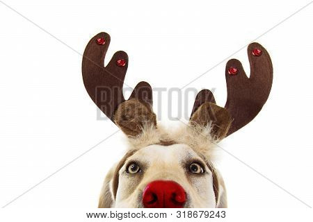 Close-up Labrador Dog Christmas Reindeer Antlers Costume. Isolated On White Background.