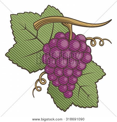 Red Grapes With Leaves Colored Illustration With Engraving Shading.