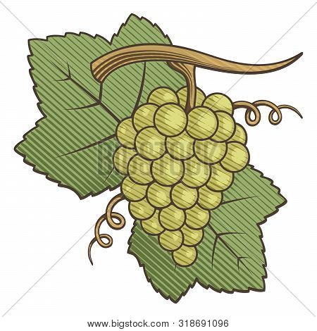 White Grapes With Leaves Colored Illustration With Engraving Shading.