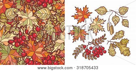 Autumn Leaves Set With Rowan, Maple, Birch And Oak. Fall Leaf Design. Foliage Forest Leaf Vector. Re