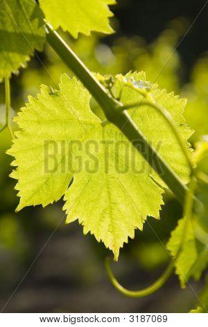 Backlit Grape Leaf