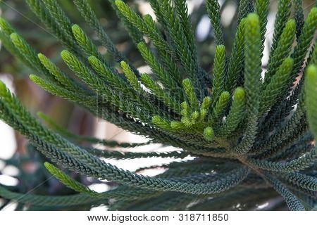 House Pine Norfolk Island Pine Araucaria Heterophylla, Araucaria Cookii , Close Up Araucaria