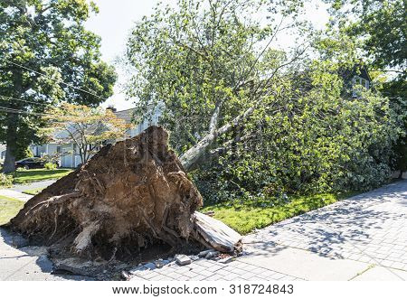 A Large Tree Falls Onto A House And Rips Up The Cement Sidewalk And Drivway Because Of A Windy Micro