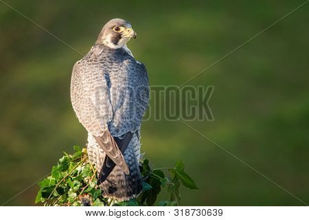 A Full Length Portrait Of A Peregrine Falcon From Behind. It Is Perched On A Post Looking To The Rig