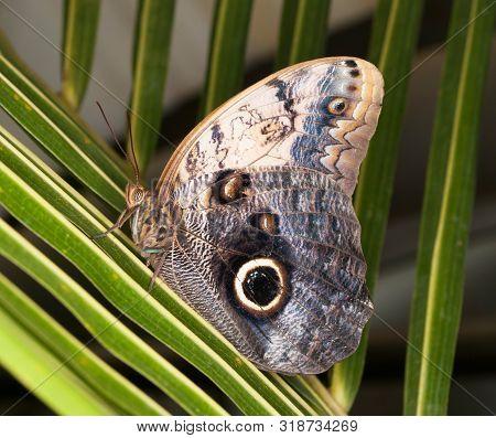 Tropical Owl Butterfly - Caligo Memnon - Portrait
