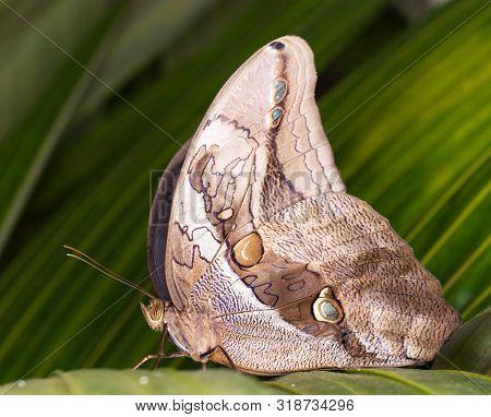 Tropical Owl Butterfly - Caligo Memnon - On Green Leaf