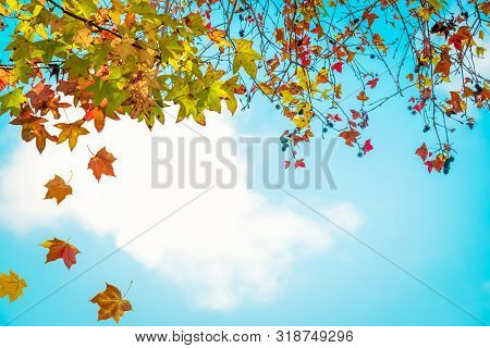 Beautiful Autumn Leaves And Sky Background In Fall Season, Colorful Maple Foliage Tree In The Autumn