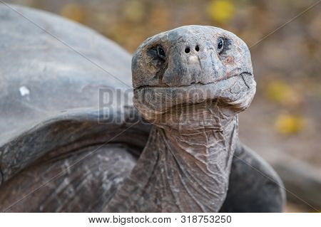 Galapagos Giant Tortoise Head Shot On Galapagos Islands. Animals, Nature And Wildlife Close Up Of To