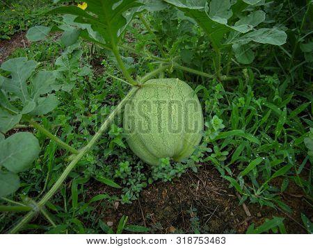 Fruit Of Watermelon Grow On Bush  In The Garden Ground. Closeup Of A Watermelon Grows In The Field.