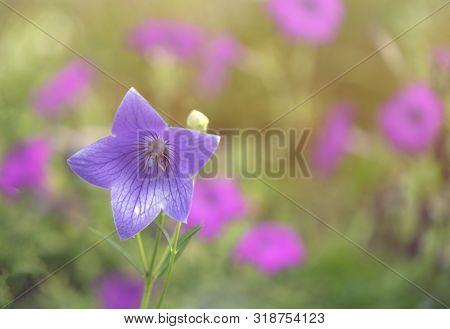 Small Bouquet Of Tiny Pink White And Blue Bluebell Flowers Showing Steman Anther And Carpel Stigma M