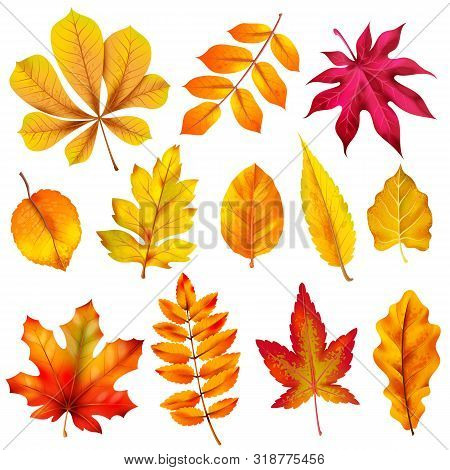Realistic Autumn Leaves. Fall Orange Wood Foliage Of Chestnut And Maple. Oak And Ash, Linden And Bir