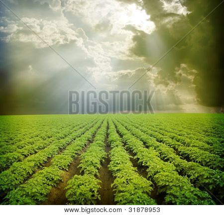 Potato field  under blue sky