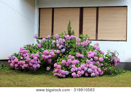 Hydrangea Or Hortensia Large Garden Shrub Full Of Open Blooming Pink To Violet Flowers With Pointy P