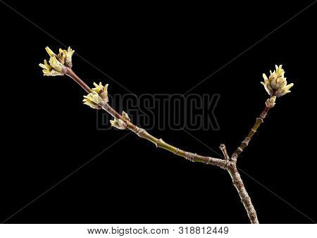First Early Flowers On Ash Twig (fraxinus Sp.) In Spring Isolated On Black Background